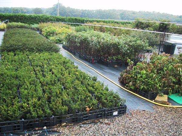 Produzione vendita e piantumazione di piante ornamentali for Innesti piante