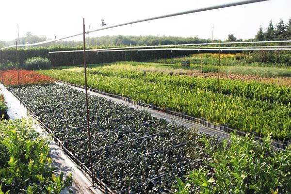 Produzione vendita e piantumazione di piante ornamentali for Piante da vivaio